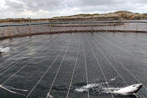 Oppdrettsnæringen rundt hele Vestfjorden kan nå rammes av giftalgeinvasjonen.