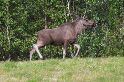 VÅGAN: Totalt i Vågan i år kan det felles 57 dyr, og ti av disse ble skutt allerede første jaktuka i valdet i Austre Vågan.
