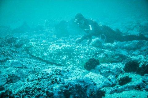 UNIKT MØTE MED HAVETS DRONNING: Kveita, som målte to og en halv meter, lot vennegjengen komme helt nær den. Her har Axel Schüller fotografert den majestetiske flatfisken sammen med kompisen Joel Burman.