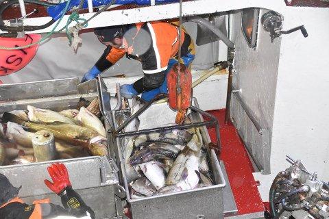 BEST BETALT: Fiskerne i Lofoten var de som fikk  best betalt for torsken i forrige uke.