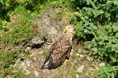 Ørnen satt stille i veikanten i Gjenddalen i to dager.