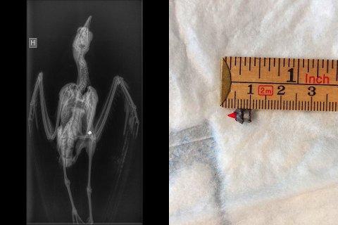 På røntgenbildene til venstre ble det avdekket at måsen var blitt skutt med et luftvåpen. Til høyre ligger ammunisjonen som skal ha blitt brukt.