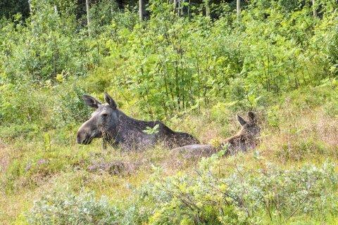 Møte med elg langs lofotveiene kan komme brått på. Disse har en leser fotografert ved Gravdal.