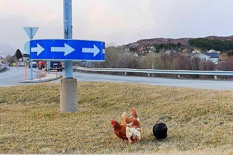 Onsdag ble det funnet fire haner i en rundkjøring i Leknes sentrum. Nå etterlyser Dyrebeskyttelsen eierne.