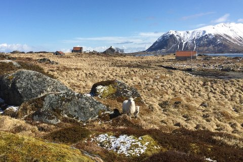 Sau og lam på Borgvær mai 2020.