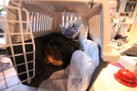 KORT HALE: Denne uken måtte katten Emma Marie amputere halen cirka 20 centimeter, som nå er bandasjert.