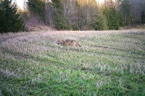 PÅ VEI NORDOVER: Bjørn Heiseldal ble mildt overrasket da dette bildet tikket inn på mobilen. Han har to viltkameraer i område som han har plasser unna mennesker.