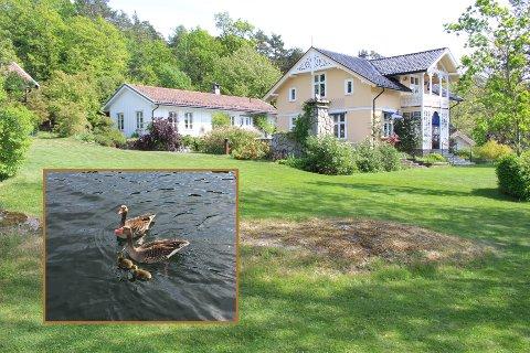 Gjess: Morten og Hanne Andresens eiendom i Sandbukta er et yndet sted for grågjess.