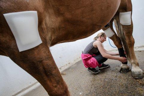 ULVEANGREP?: Hesteeiere og ansatte på Noreødegården ryttersport senter, frykter at ulv har angrepet hester på beite. Rideskolesjef Emilie Rollve forbinder skadene på Håga Jo.