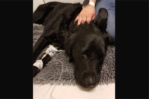 Hunden Truls måtte behandles med glukosedrypp hos Dyrlegen på Ålgård etter at han fikk i seg 15 biter sukkerfri tyggegummi med xylitol.