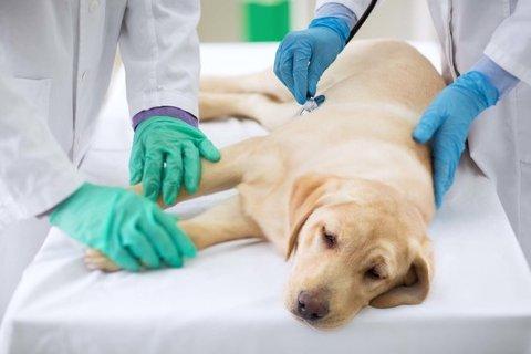 Det er ikke ufarlig for en hund å bli bitt av hoggorm, og det er viktig at den får behandling så fort som mulig.