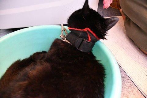 STRAMT: Noen hadde strammet et tau med kjetting og surret et bånd hardt rundt halsen til den lille katten. på Ekholt tidligere i år.