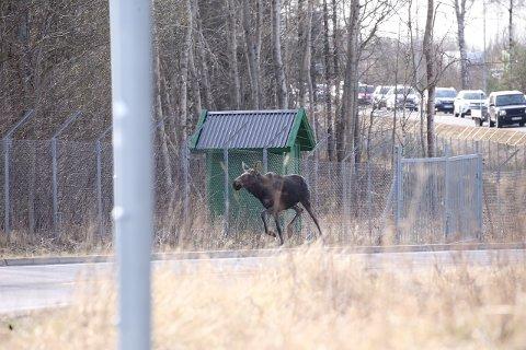 E6: Politiet og Viltnemda rykket ut etter at denne elgen stadig krysset E6 fredag morgen.