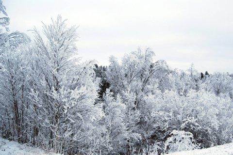 Kan vi tørre å håpe på slike snødekte trær i jula? Bilde innsendt av Peter M. Laugen.