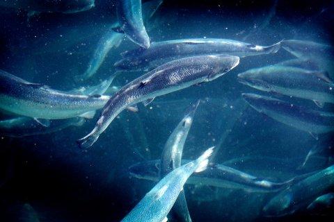 HVER FOR SEG: Bjørøya AS og Midt-Norsk havbruk skal ikke lenger ha fisk i lag i merdene.