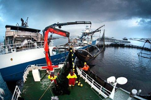REKORDHØY GJENFANGST: Fiskeridirektoratet er ikke ferdig med å undersøke lakserømminga fra lokaliteten Dolma N, og kan ikke foreløpig si hva som er årsaken og hvilke konsekvenser dette eventuelt får for Midt-Norsk Havbruk. Seksjonsleder Ruth Kjæmpenes forteller at andelen fisk som er gjenfanget er den største hun har opplevd noensinne. Dette bilde er tatt av en annen oppdrettslokalitet, i en annen sammenheng.