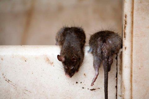 Både mus og rotter er vanlige skadedyr i Norge.