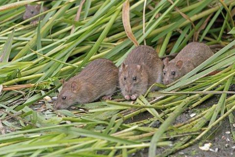 OPPBLOMSTRING: Det fortelles at rotter har blitt et langt vanligere syn ved Østensjøvannet, de nyter også godt av maten som blir dumpet der.