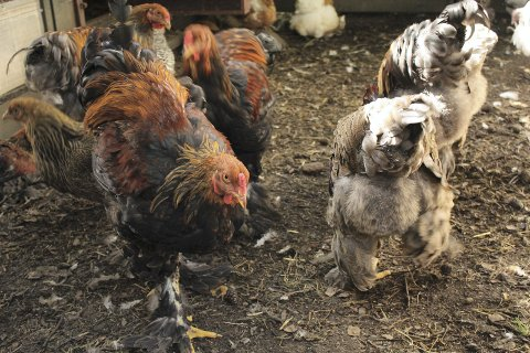 HØNSEHOLD: Frister det med ferske, kortreise egg til frokost? Hønsehold i byen er noe du kan søke tilskudd for. Arkivfoto