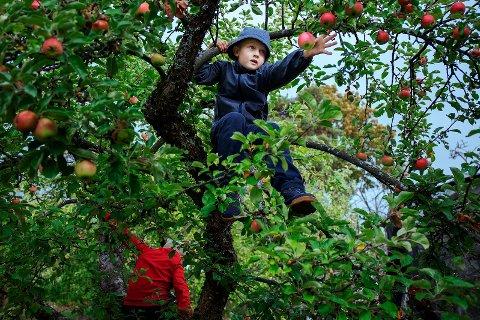 EPLESLANG: Før høstferien dro 150 barn på epleslang i nabolaget. Severin Martinius Engh (7) klatret til topps for at ingen epler skal bli glemt.
