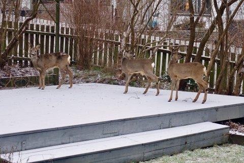 OFTE PÅ BESØK: Om vinteren trekker rådyr seg ofte inn mot boligfelt for å finne mat. Her er tre rådyr på besøk i hagen til Jan Syversen (75) i Framveien.