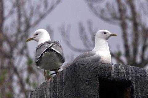 Måker bygger ofte reier på toppen av tak som gjerne er flate og kommer tilbake dit de er klekket hvert år.