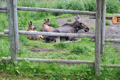 En elgokse og en kalv skal ha blitt henholdsvis drept og avlivet etter et fatalt skudd mot Polar Parks innhengning.