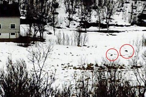 ULV? Er dette to ulver som løper rundt på jordet?