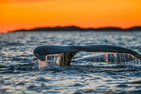 HVAL I SOLNEDGANG: Nå er hvalsesongen i gang igjen.