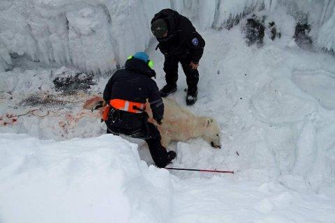 Her har Sysselmannen skutt isbjørnen. Foto: Irene Sætermoen / Sysselmannen på Svalbard