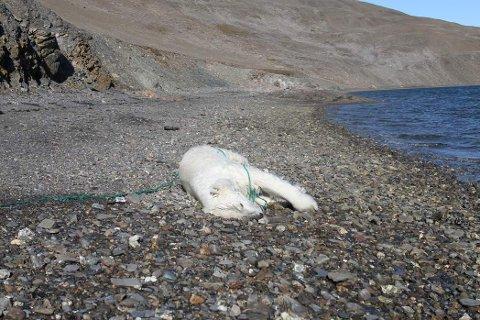 Denne isbjørnen ble onsdag skutt på Svalbard. Foto: Sysselmannen