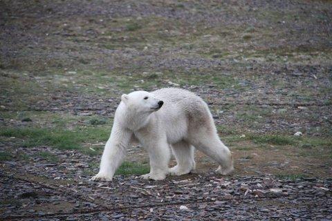 Dramaet pågikk i flere timer da denne bjørnen nektet å forflytte seg fra fangsthytta på Austfjordnes i Svalbard. Foto: Irene Sætermoen / Sysselmannen