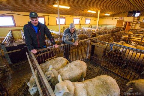 BYEN LOKKER IKKE: - Vi trives her, sier tvillingbrødrene Sindre og Endre Borch, som satser på sauedrift og eggproduksjon på gården ved Jøvik. De leverer kjøtt via Lyngenlam. Foto: Yngve Olsen
