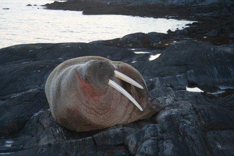 UVANLIG SYN: Denne hvalrossen oppholdt seg i Straumfjord i Nordreisa i flere uker i vår. Foto: Siri Westermann