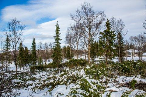 TREHOGST: Mye skog er felt ved Elverhøy gravlund, men mange av trærne er blitt liggende igjen. Dette bildet er tatt på vårparten i år.