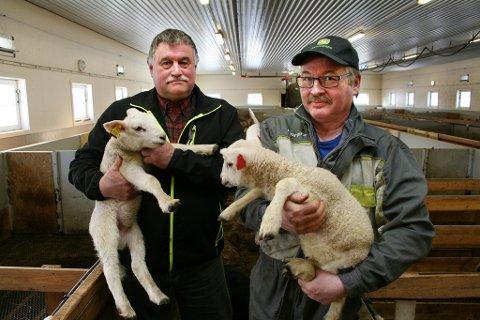 Nortura betaler mer for disse lammene i sør enn i nord. Martin Ness (t.v.) og Jan Ottar Østring i Midt-Troms Bondelag mener det er dypt urettferdig.