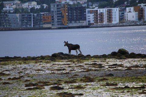 I FJÆRA: En elg befinner seg på Tromsøya - et sted den ikke bør være. Det er bare tre uker siden tre elger, blant annet denne, oppholdt seg på Tromsøya sist. Da forårsaket de skader på en parkert bil.