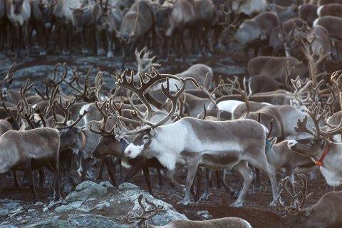 IKKE FOR MANGE: Reinsdyr på Kvaløya. Det er statens konklusjon etter at tellingen ble avsluttet i forrige uke. Bildet er tatt i gjerdeanlegget i Sørfjorddalen ved Kattfjorden. Foto: Ola Solvang