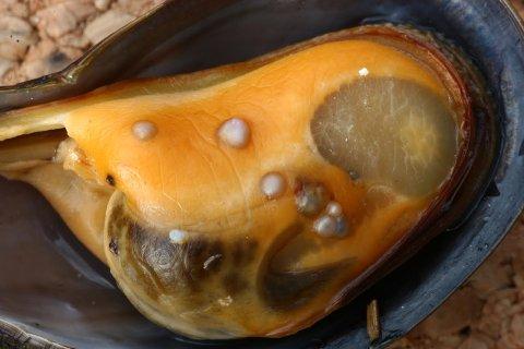 KNASER I TENNENE: Når ekteparet spiser selvsankede blåskjell står det alltid en skål på bordet til alle de små perlene.
