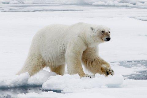 HENLAGT: Saken mot isbjørnvaktene som skjøt og drepte en isbjørn på Svalbard i 2018, er henlagt, opplyser assisterende sysselmann Sølvi Elvedahl. Dette bildet er tatt ved en annen anledning.