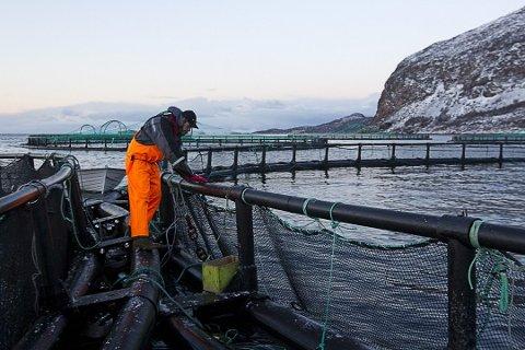 Greenpeace har funnet ulovlige verdier av stoffet  Ethoxyquin i norsk oppdrettslaks.