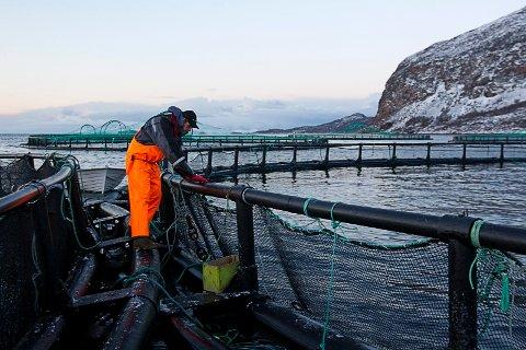 Flakstadvåg Laks har seks konsesjoner for oppdrett av laks på Senja. Foto: Terje Bendiksby / Scanpix