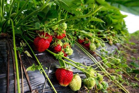 SESONG FOR LOVBRUDD: Arbeidstilsynet vil fortsette å føre tilsyn med sesongbasert landbruk, som blant annet jordbærplukking. Illustrasjonsfoto.