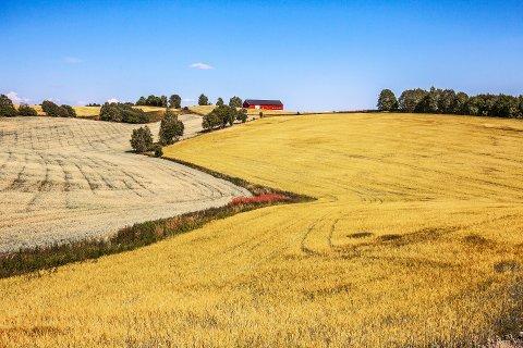 Kornproduksjonen gikk ned i fjor.