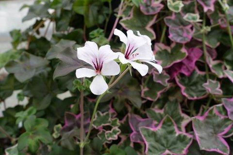 BLOMSTER I BYEN: L`eleganse er en av plantene man kan få kjøpt når Hageselskapet Gjøvik inntar byen. L`eleganse er en pelargonia som får kulørte blader i sol.
