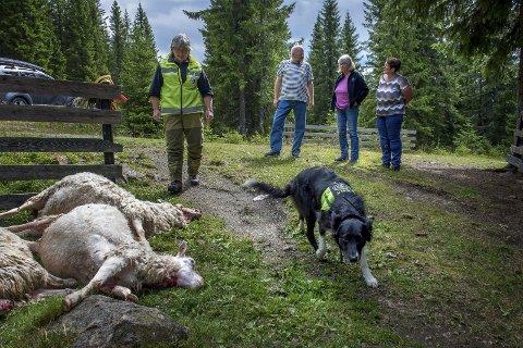 Arkivfoto: Ulven herjet på Hadeland og på Toten sist sommer.