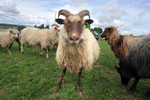 BLÅMANN: – I dag brukes mye av dette fine kjøttet til pelsdyrfôr, og noe destrueres til sement, påpeker artikkelforfatteren.
