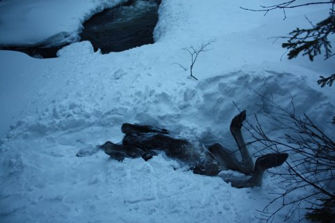 Elgen døde etter å ha falt seks-sju meter fra Hølabrua i Etnedal. Foto: Hans Solbrekken Ruud