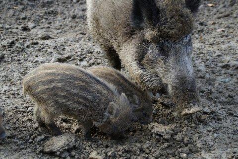 FARE: - Faren for smitte av afrikansk svinepest fra villsvin til tamsvin vil øke. Sykdommen har en dødelighet på 100 prosent og det finnes ikke vaksiner, skriver artikkelforfatteren om en økende villsvinbestand.