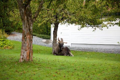 Elgen så ganske så avslappet ut under epletreet, men var mer sprelsk da han struttet rundt i hagen i Marens vei.